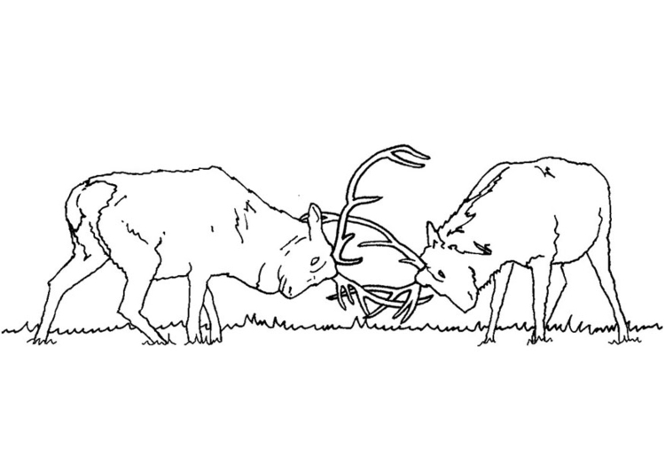 Elk Fighting Coloring Page