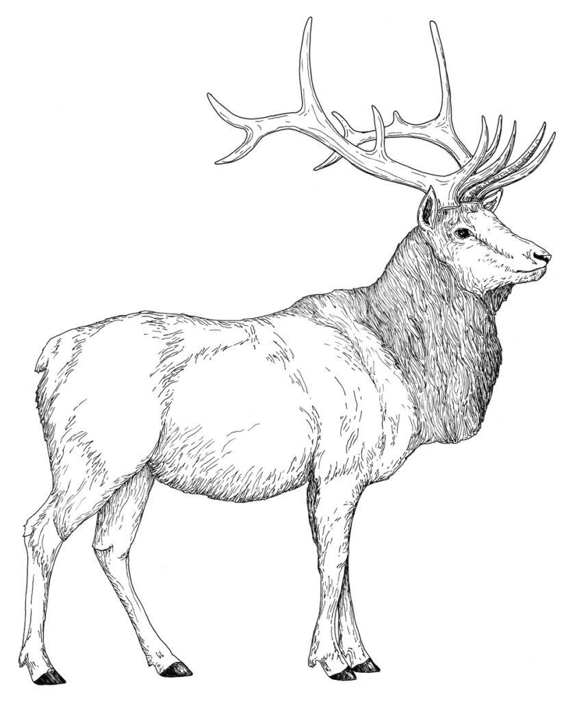 Realistic Elk Coloring Page